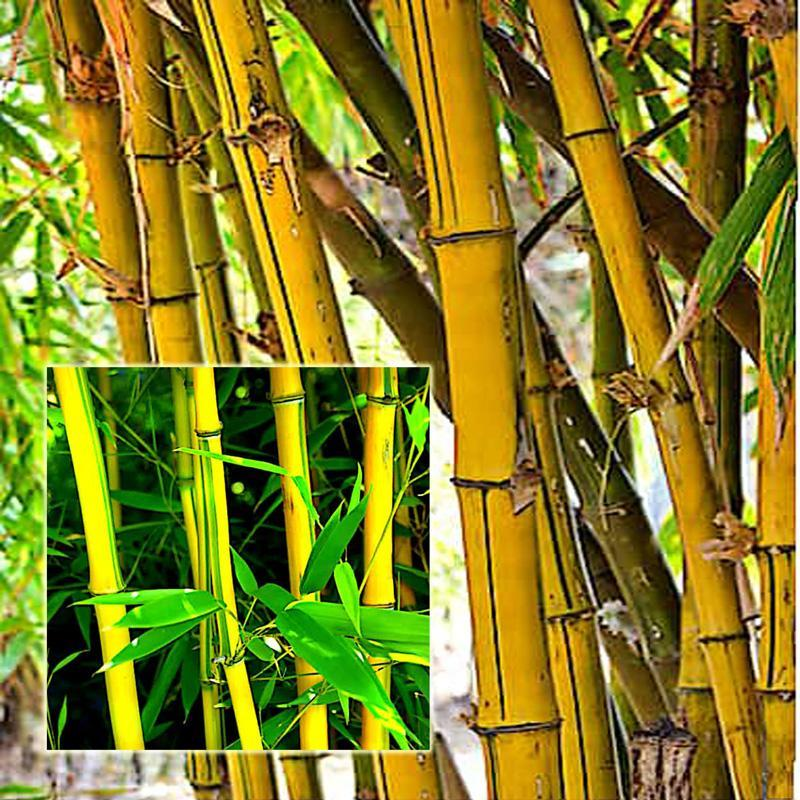 Yellow Bamboo & Coconut Shell Puttu Maker
